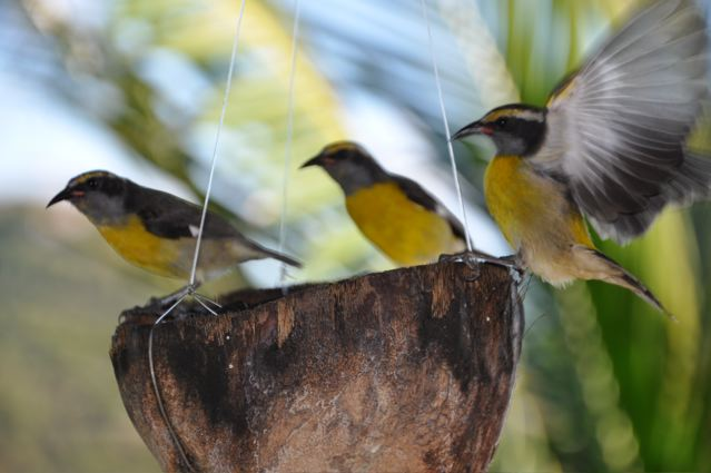 3-little-bananaquits