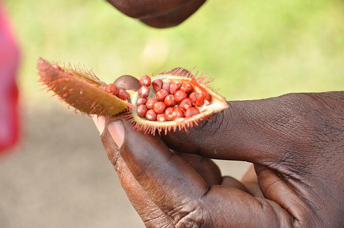 "These seeds served as ""war paint"" for the Carib indians."
