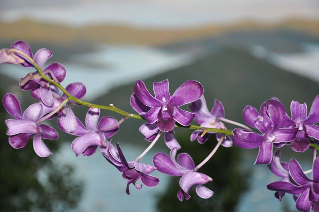 orchid-in-coral-bay